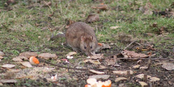 Tips voor het bestrijden van ratten in de tuin